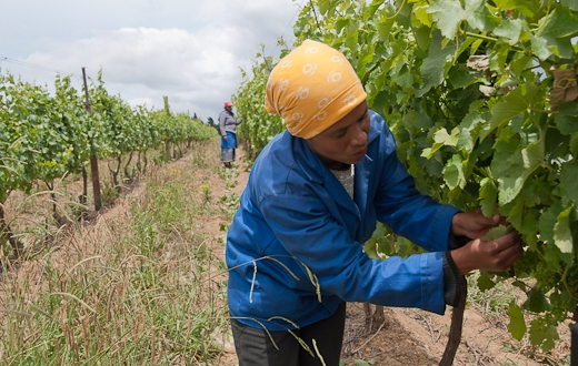 Lucinda de la Roux works on a South African wine farm which pays a decent wage. Many of her colleagues on other farms are not that lucky. Photo: Sigurd Jorde